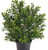 Boxwood Bush x 144 Lvs 31cm-  UV-safe