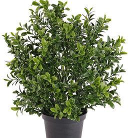 Buxus bush x144lvs 31cm in pl potje