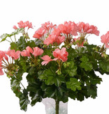 Geranium austríaco, 40cm