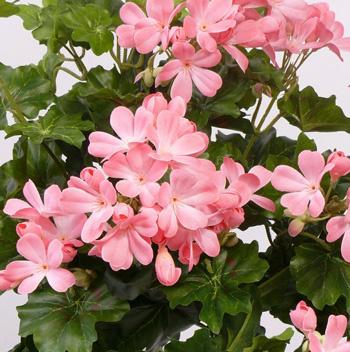 Geranium (Austrian), 40cm,