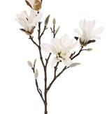 Magnolia stellata (Stern-Magnolie), 2 Verzweigungen, 4 Blumen,  60cm