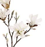 Magnolia stellata (Stermagnolia), 2 vertakkingen, 4 bloemen, 60cm