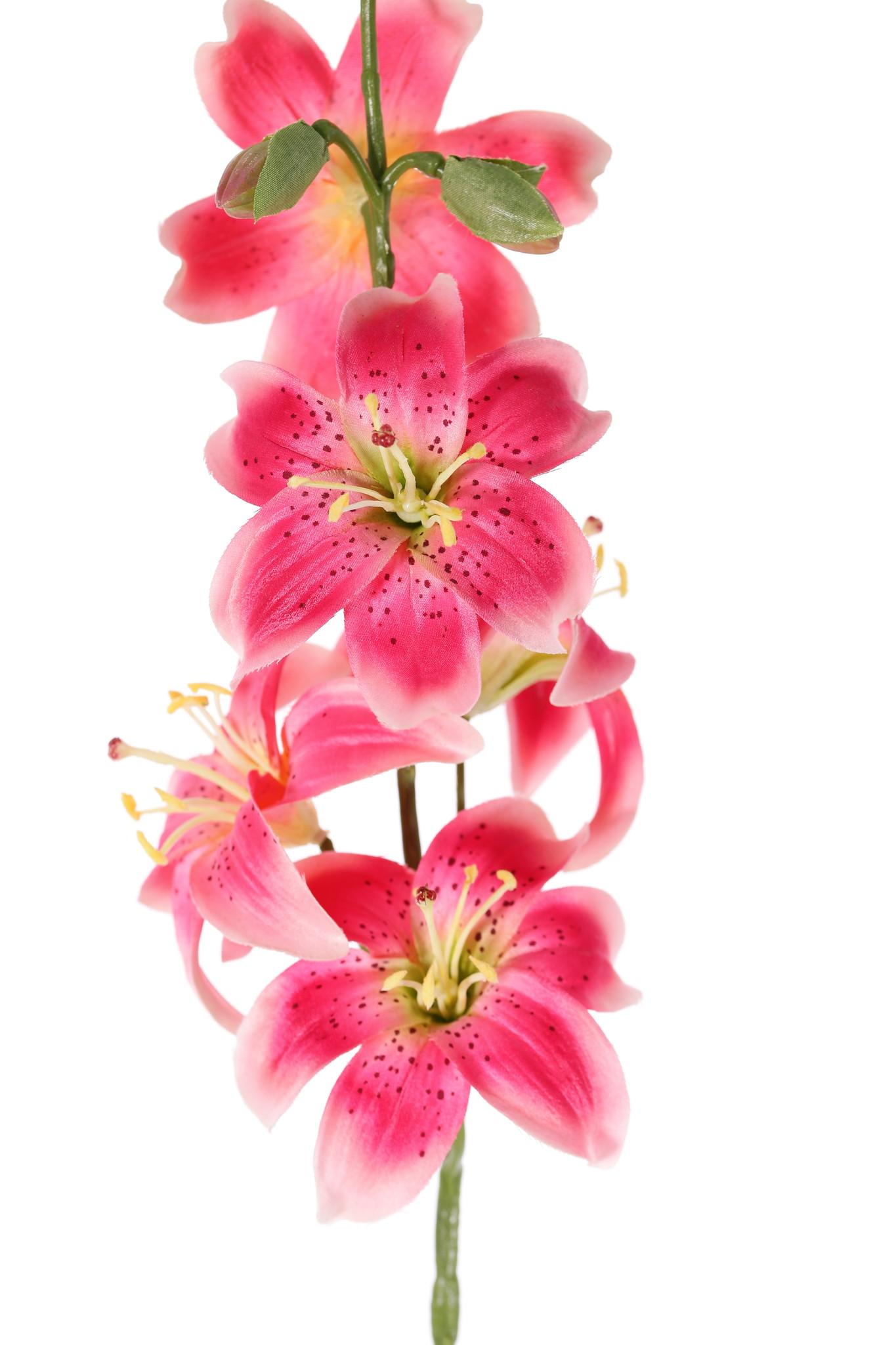 Lily (Lilium) with 5 flowers (Ø 8cm) & 4 buds, 64cm