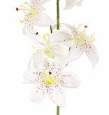 Lilie (Lilium) met 5 Blumen (Ø 8cm) & 4 Knospen, 64cm