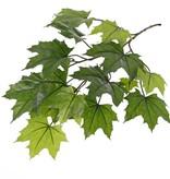 Acer maple (Acer pseudoplatanus), 16 lvs., UVsafe, 72cm