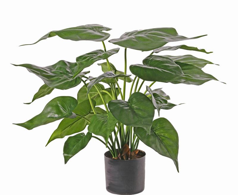 Alocasia Cucullate, 24 bladeren, in pot 51cm