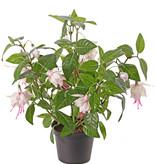 Fuchsien-Pflanze (Fuchsia) x12Bl & 108Blt, 30cm