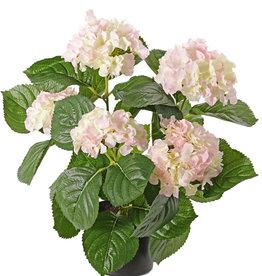 Hortensia con 5 grupos de flor (204 flores), 30 hojas, 36cm en maceta plástico negro