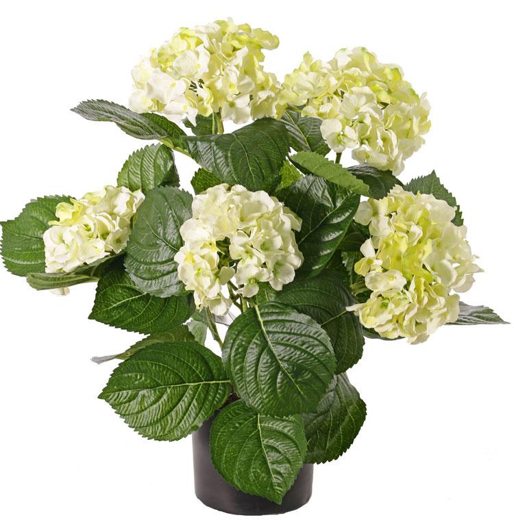 Hydrangea 36cm in pot