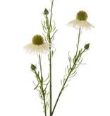 Echinacea pallida (Prärie-Igelkopf, Blasser Igelkopf) 3 Blumen, 3 Knospen, 60cm