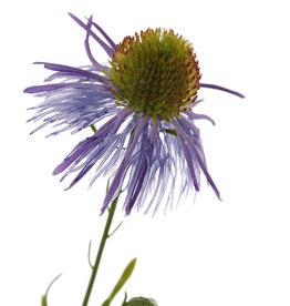 Echinacea pallida (pale purple coneflower) 3 flowers & 3 buds, 60cm