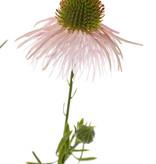 Echinacea pallida, 3 flores & 3 brotes, 60cm