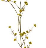 Stirlingia Latifolia (Blueboy), 30 clusters flores, 83cm