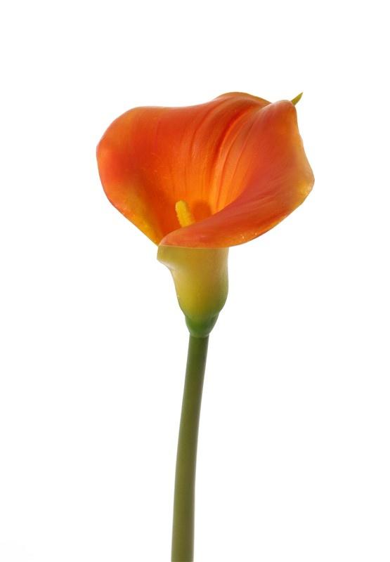 Calla lelie (Zantedeschia), 13 x 15cm, 73 cm