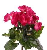 Begonia bloeiend, 6 vertakkingen, met 36 bloemen & 24 blad, Ø 25 cm, H. 20 cm