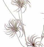 Clematis zaden tak x3, met 9 zaden, geen blad, geheel geflockt, 71cm