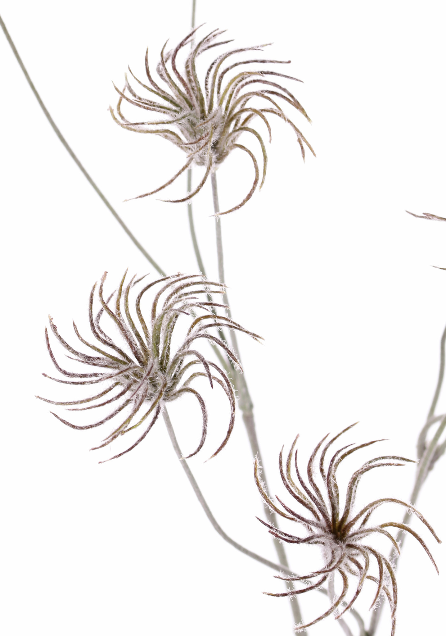 Clematis seeds branch x3, with 9 seeds, no leaf, flocked, 71cm