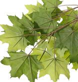 Acer maple (Acer pseudoplatanus), 23 lvs., FR fire retardant, 80cm