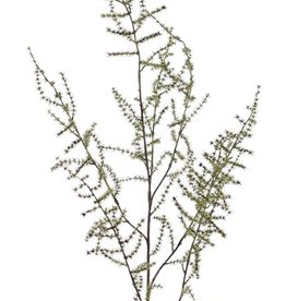 Asparagustak (acutifolius) 'wilde asparagus' x7, 'AutumnBreeze', 130cm