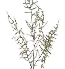 Spargelzweig (acutifolius) 'Wilder Asparagus' mit 7 Verzweigungen, 'AutumnBreeze', 130cm