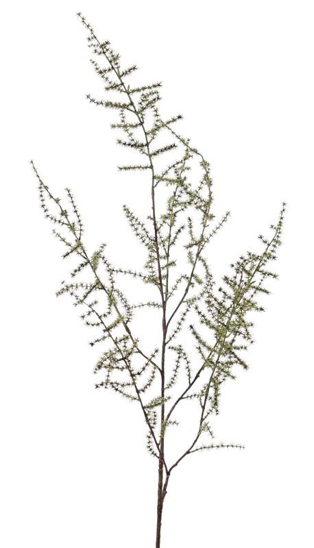 Asparagus branch (acutifolius) 'wild asparagus', 'AutumnBreeze', 130cm
