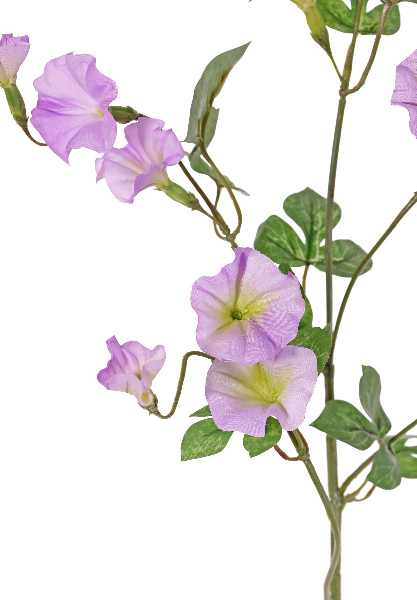 Winden (Convolvulaceae) 4 Verzweigungen, 15 Blumen, 14 Blätter, 63 cm