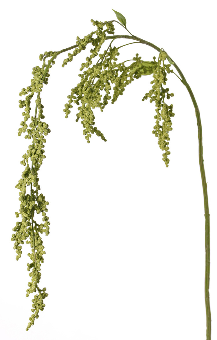 Amaranthus maxi, 27 clusters flores ,3 hojas,147cm