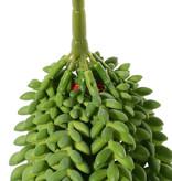 Sedum Morganianum (Schlangen-Fetthenne), 9 Stränge, 2x 25 cm, 4x 18 cm, 3x 15 cm, 846 Blätter , 31cm