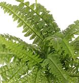 Boston fern with 33 fern fronds, Ø 50cm, h. 35 cm