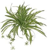 Chlorophytum (Graslelie), 9 vertakkingen, met 15 juvenielen & 78 blad, Ø 60cm
