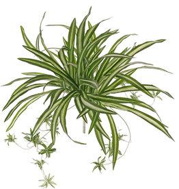 Chlorophytum (spider plant, St. Bernard's lily) with 15 clusters, 78 leaves, Ø 60cm