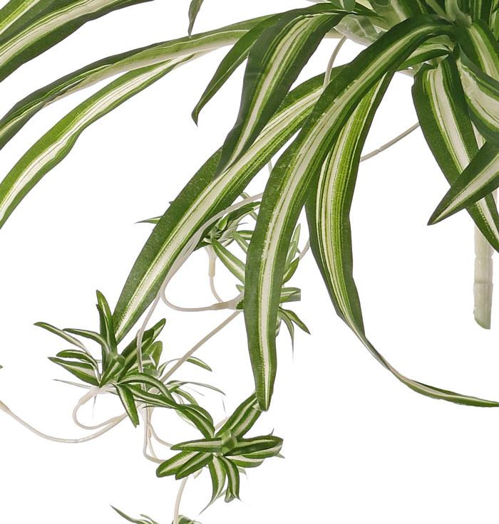 Chlorophytum (Grünlilie), 9 Verzweigungen, mit 15 Ablegern, 78 Blätter, H. 50 cm, Ø 60 cm