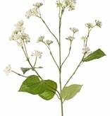 Eupatorium (Wasserdost, Wasserhanf) mit 34 Blütenbündel, 5 Blättern, 80 cm