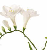 Freesia 'Beau', 2 big flowers (7 x 6 cm), 6 buds & 2 leaves, 65cm