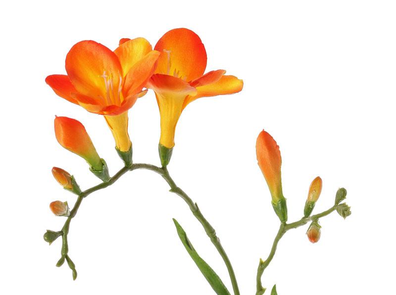 Freesia 'Beau', 2 big flowers (7 x 6 cm), 6 buds & 2 leaves, 65cm