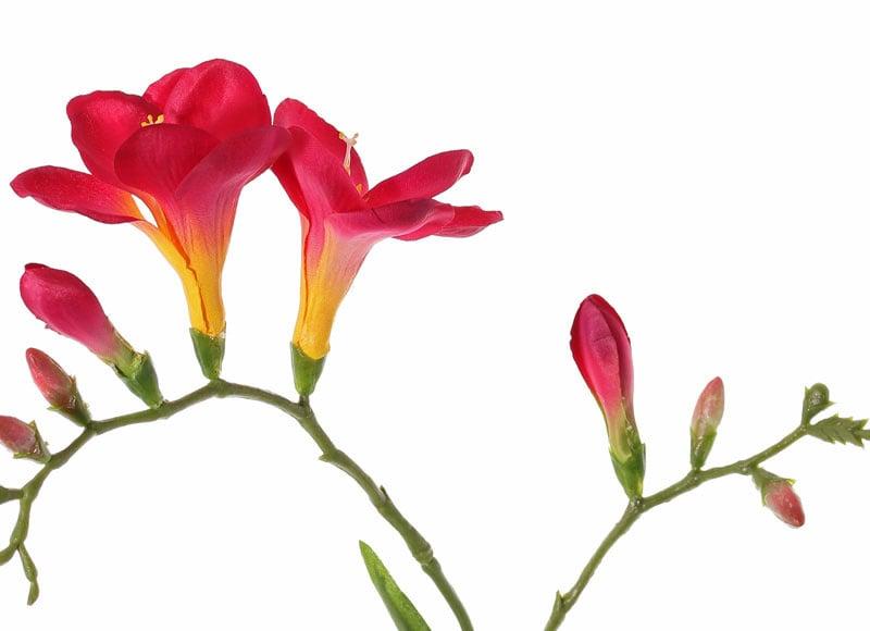Freesien (Freesia) 'Beau', 2 große Blumen, (7 x 6 cm), 6 Knospen & 2 Blätter, 65cm