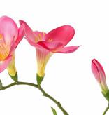 Freesia 'Beau', 2 flores grandes, (7 x 6 cm), 6 capullos & 2 hojas, 65cm