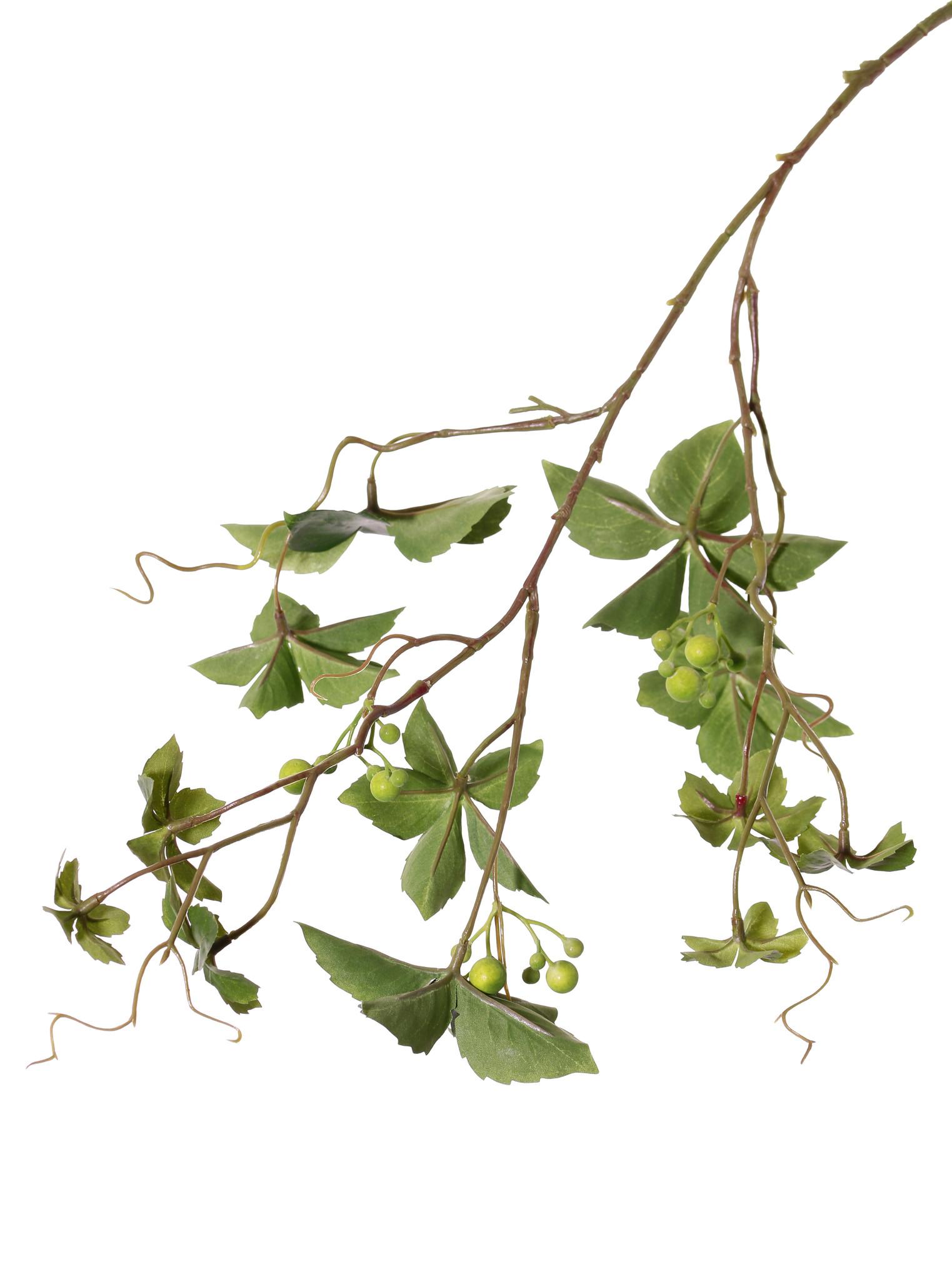 Jungfernreben (Parthenocissus), Zaunreben, Wilder Wein,  3 Verzweigungen, 12 Blätter & 3 Beerenbündel, 9 Kletterwurzeln , 80cm