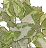 Lamium maculatum 'Beacon Silver' (Gevlekte dovenetel) x7, 35 blad, Ø 34 cm, H. 25 cm
