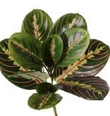 Maranta Fascinator Tricolor (Pfeilwurz) 11 Blätter, (3 XL /3 L / 5 M), H. 28 cm, Ø 28 cm