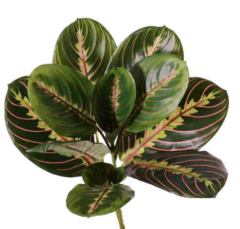 Maranta Fascinator Tricolor planta, 11 hojas, (3 XL /3 L / 5 M), h. 28 cm, Ø 28 cm