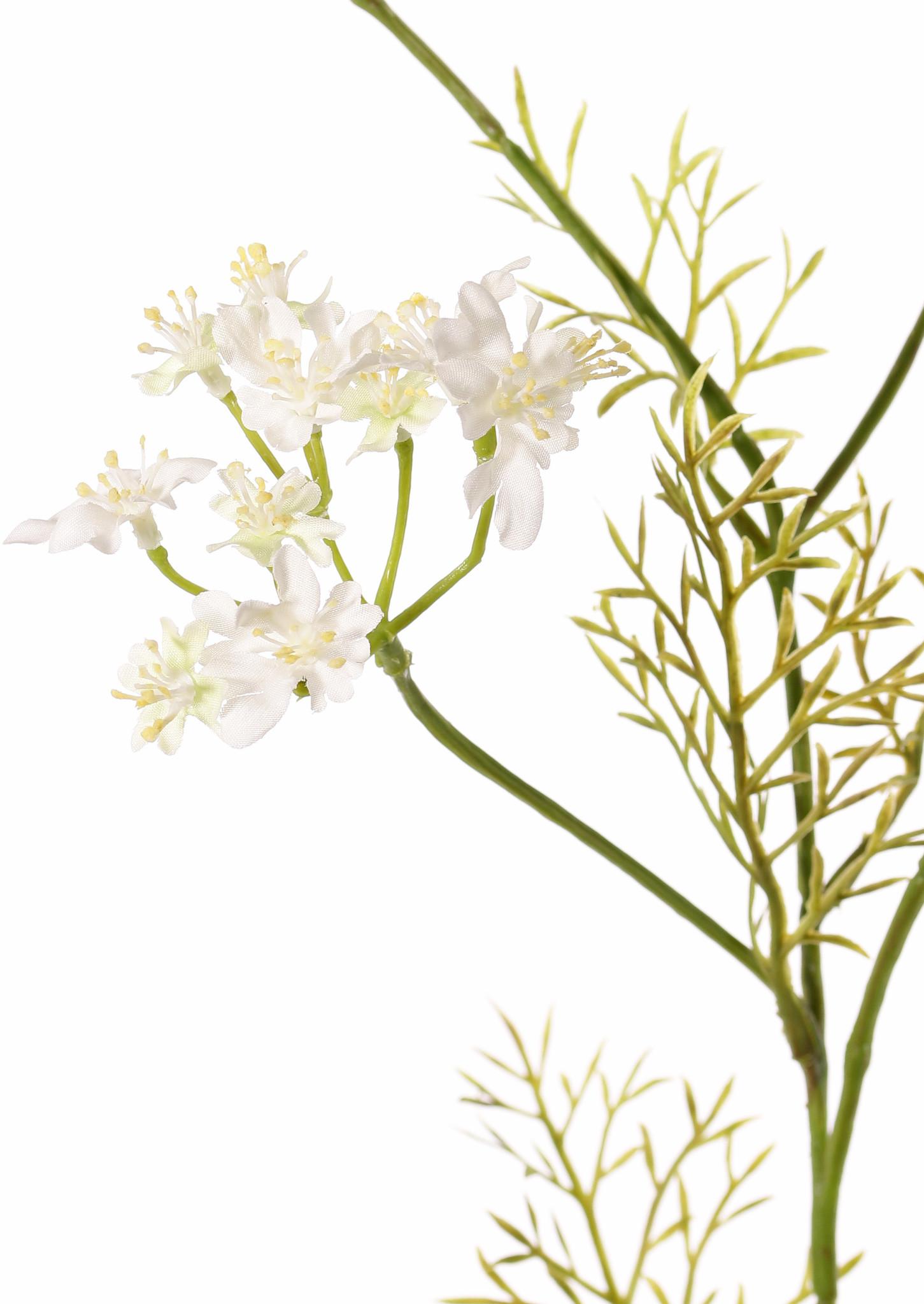 Daucus carota (Wild carrot) 4 branches, 4 umbels (49 flowers) & 6 leaves, 85 cm