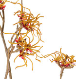 Hamamelis mollis, 10 flores (Ø 5 cm), 68 cm