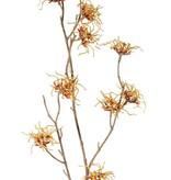 Hamamelis mollis, 10 flowers (Ø 5 cm), 68cm