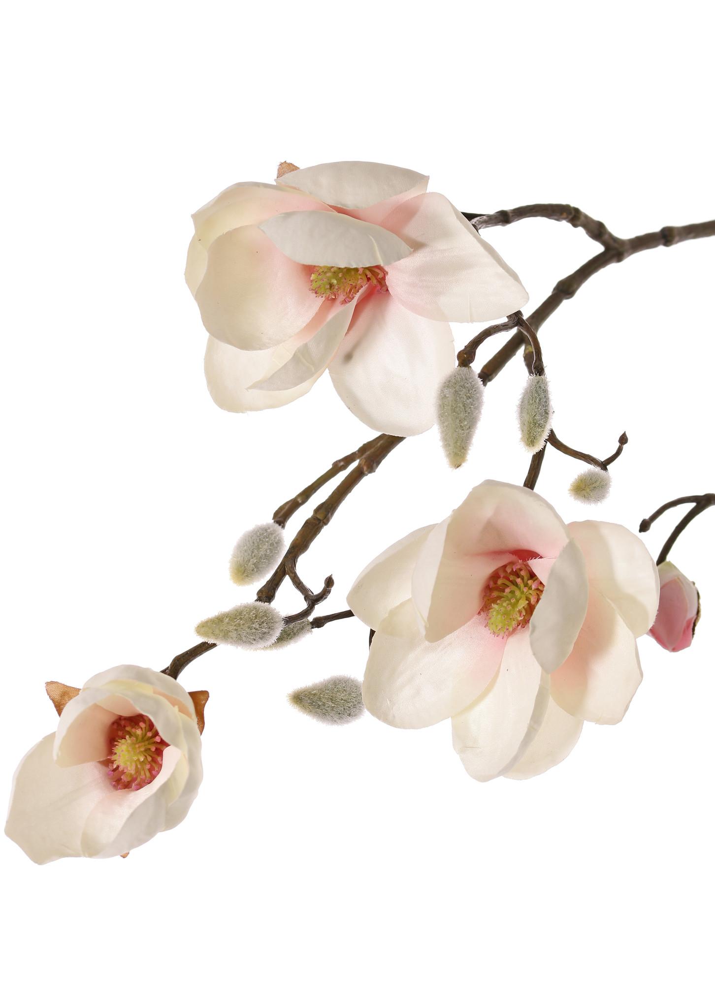Magnolia (Beverboom) 4 vertakkingen, 5 bloemen (3x Ø 8cm, 2x 5 cm) & 12 knoppen (behaard), 80 cm   - Copy