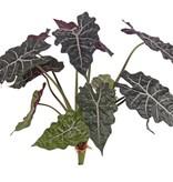 Alocasia 'Polly' (Skeletplant), met 12 blad (6L / 3M / 3Sm), H. 60 cm, Ø 65 cm