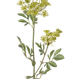 Ammi majus (bishop's weed, false Queen Anne's lace)