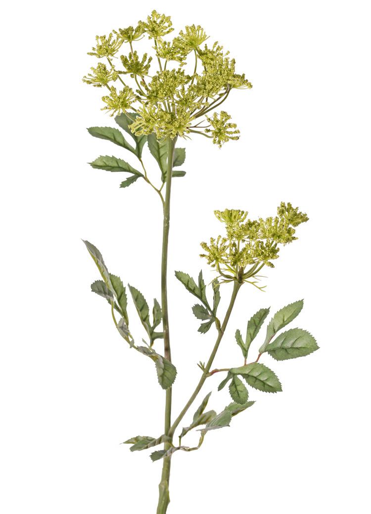 Ammi majus (bishop's weed, false Queen Anne's lace), 2 lace-like flower clusters  (Ø 13/7 cm), 5 leaf tufts, 75cm