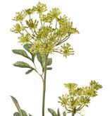 Große Knorpelmöhre (Ammi majus), 2 Doldenblüten (Ø 13/7 cm), 5 Blattbüschel, 75 cm