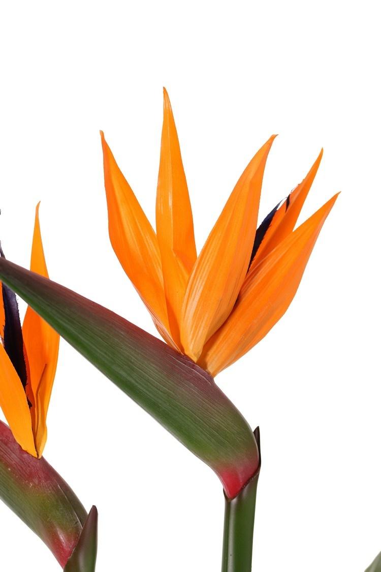Strelitzia (paradijsvogelbloem) 2 bloemen, 1 knop & 8 blad, Ø 80 cm, h. 70 cm
